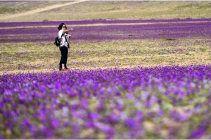 Dónde ir a ver el desierto florido