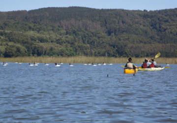 Un paseo en kayak por Valdivia junto a los cisnes de cuello negro
