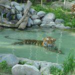 Tigres, cocodrilos, hipopótamos y mariposas debutan en el Buin Zoo