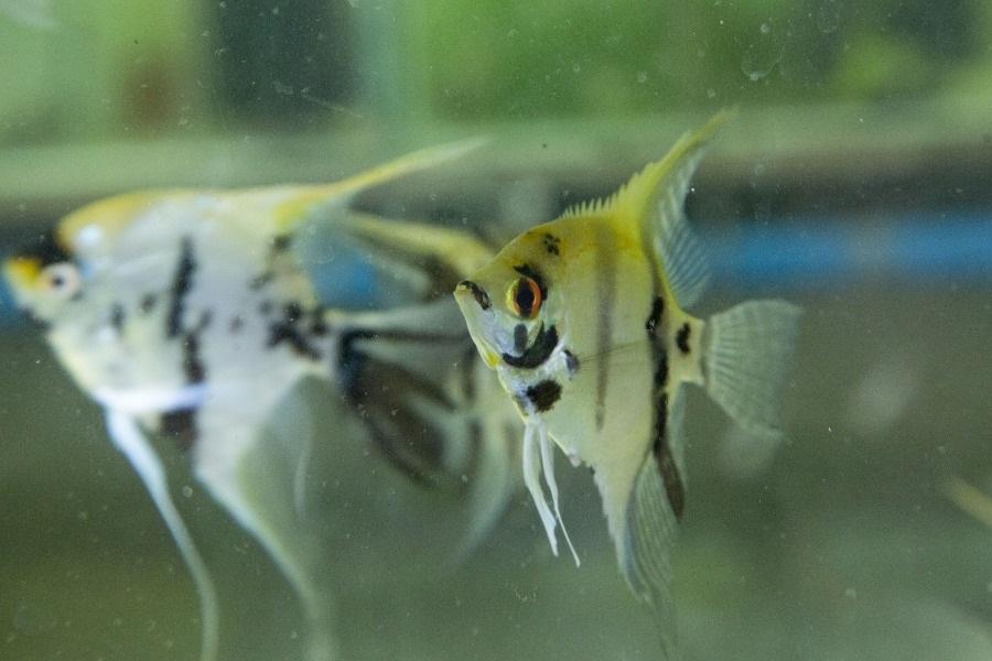 Tao Fish