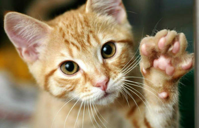6 opciones para celebrar el Mes de los Gatos y regalonear a tu