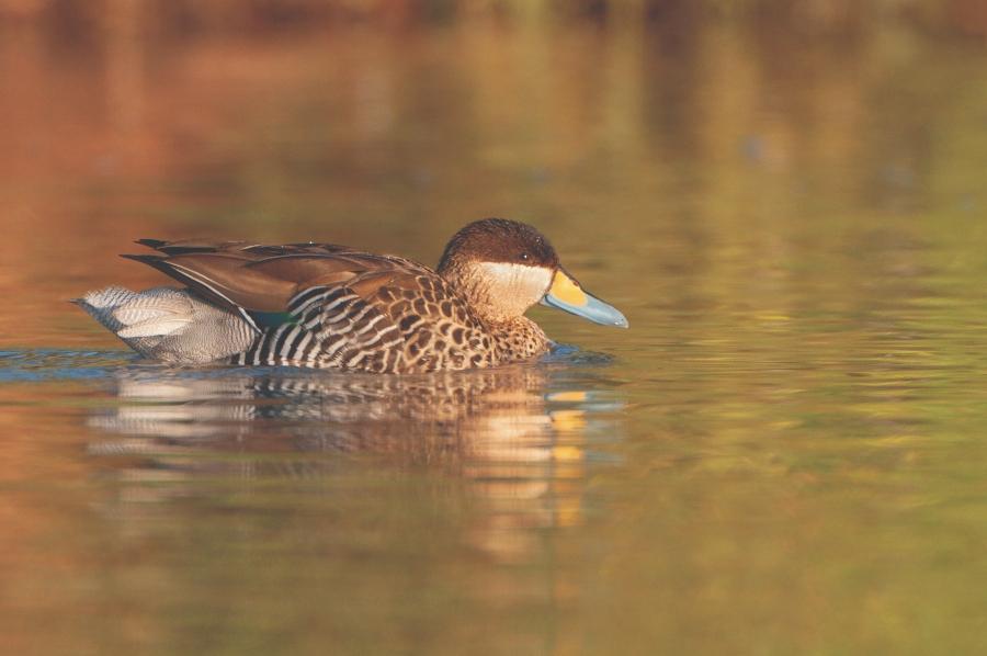 Tricahues, loicas, patos, cóndores y otras aves de Chile llegan al Parque Bicentenario de Vitacura